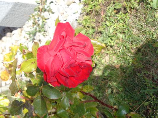 Garten_Rose