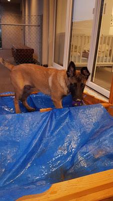 """Cesar ... der kleine """"grosse"""" Belgische Schäferhund Welpe ... er hält mich ganz schön auf Trab ..."""