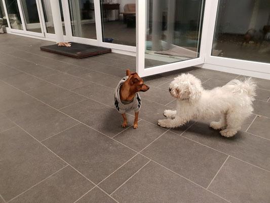 Fuffi hat heute eine Spielgefährtin. Die Lucy ist aus Basel und Frauchen hat einen Termin in der Nähe.