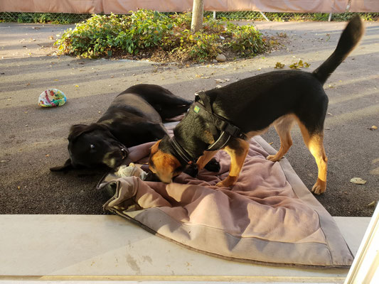 Charlie und Satchmo ... ein paar Stofftiere mussten ihr Leben lassen :-)