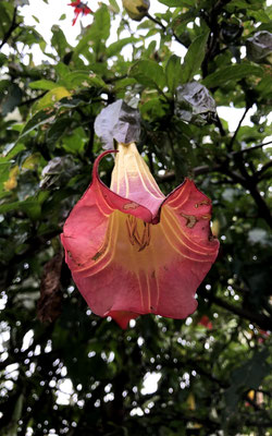 Angel's trumpet. Google it.