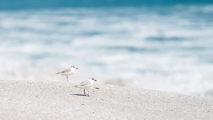 Sandpipers at Walker Bay beach, South Africa