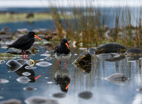 Oystercatchers at Milford Sound, South Island, New Zealand