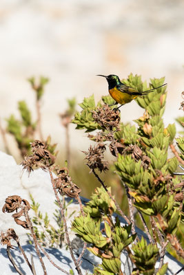 An orange-breasted sunbird in Rooi-Els, South Africa