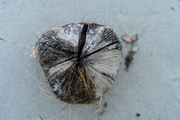 Coconut on Cape Tribulation beach, Queensland, Australia