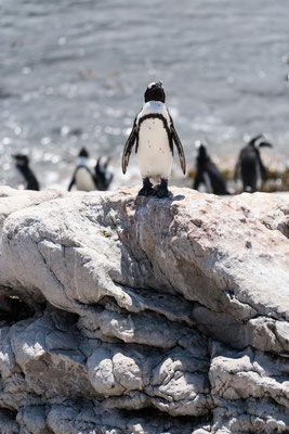 A penguin looking towards the sun at Stoney Point Nature Reserve, South Africa