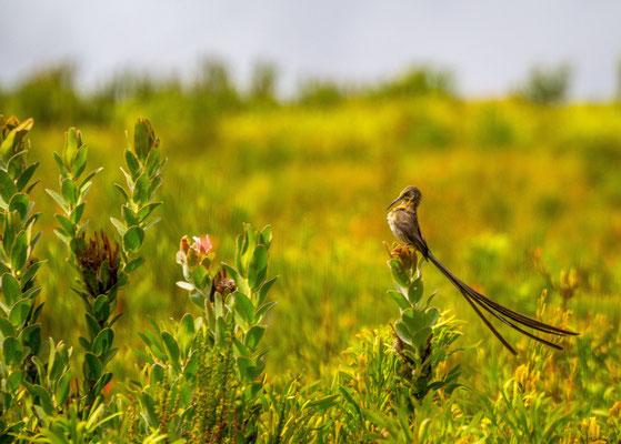 Meerkat in Oudtshoorn, South Africa