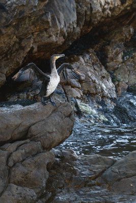 Cormorant spreading its wings at Rooi-Els rocky shore line, South Africa