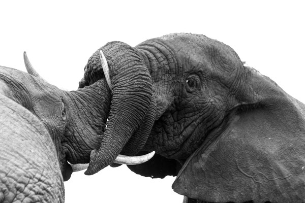 Elephant bulls fighting at Addo Elephant National Park, South Africa