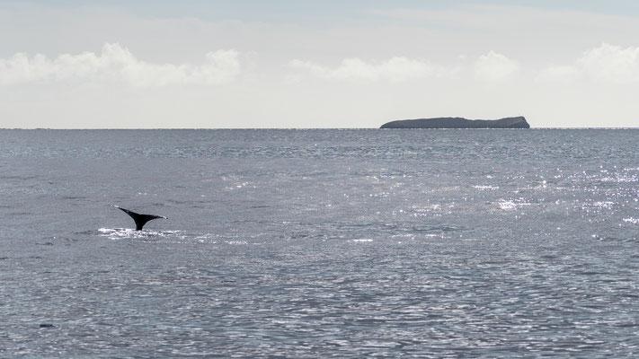Humpback whale fluke at Molokini crater