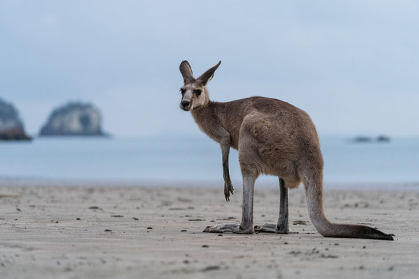 A grey kangaroo at Cape Hillsborough beach, Queensland, Australia