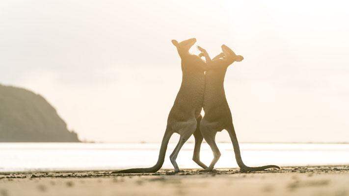 Young male wallabies testing their strength at Cape Hillsborough beach, Queensland, Australia, during sunrise