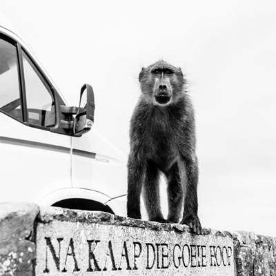 A baboon sitting on a sign post to Cape of Good Hope, South Africa