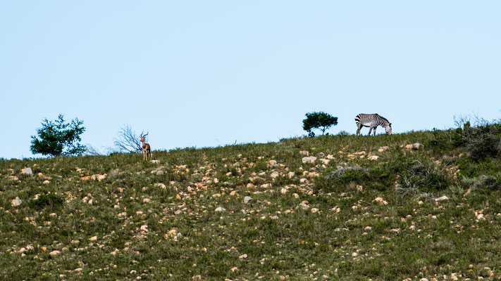An Impala and Zebra at Fort Governors Estate, Eastern Cape, South Africa