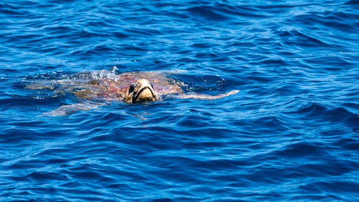 Sea turtle at Platypus Bay, Australia