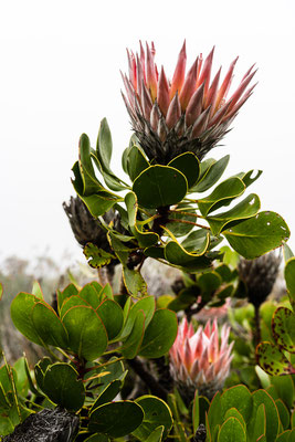 King Protea on Table Mountain, Capetown