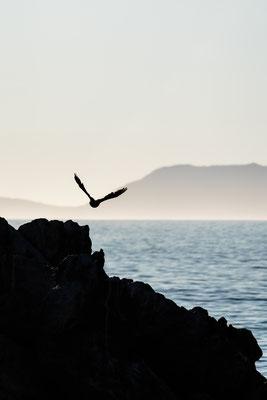 A cormorant taking flight towards False Bay, South Africa