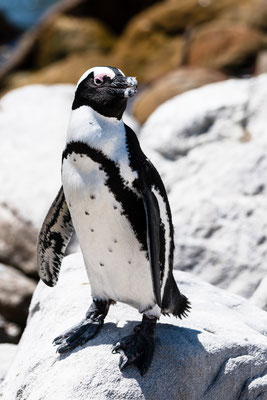 An African penguin at Stony Point Nature Reserve, South Africa