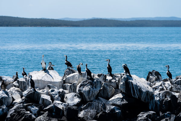 Group of cormorant at Hervey Bay, Australia