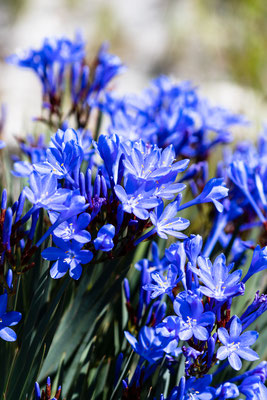 Blue flowers at Kogelberg Nature Reserve, South Africa