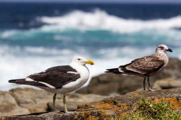 Sea gulls at the shoreline in South Africa