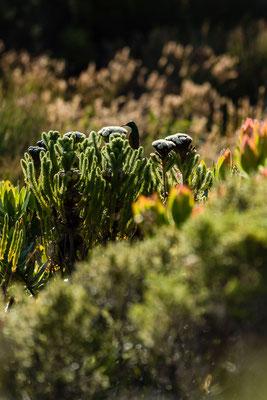 Fynbos plants in Rooi-Els, South Africa