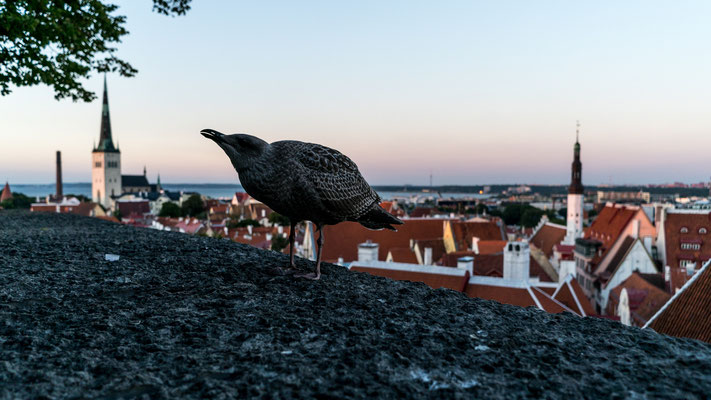 Female seagull in Tallinn