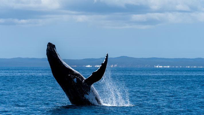 A humpback whale breaching at Platypus Bay, Queensland, Australia