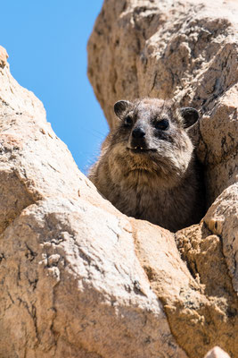 A dassie at Stony Point Nature Reserve, South Africa