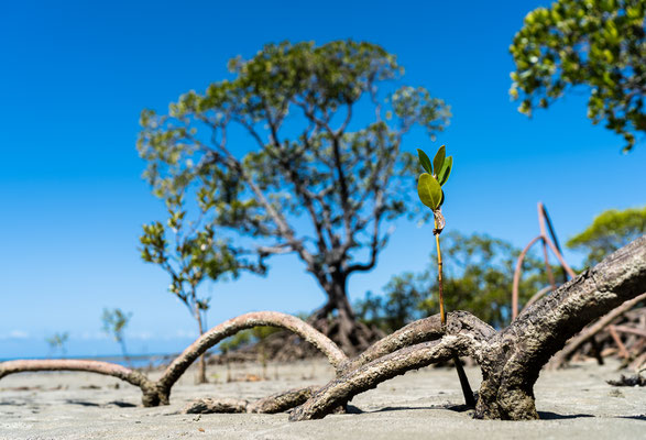 Mangrove trees at Cape Tribulation, Queensland, Australia