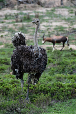 A female Ostrich and a Blesbok at Fort Governors Estate