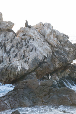 Seal and cormorant at Rooi-Els rocky shore line, South Africa