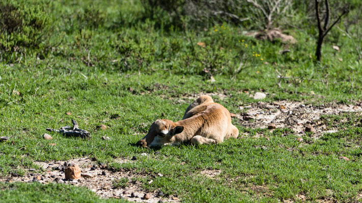 A young Blesbok lamb laying down at Fort Governors Estate