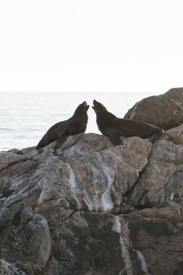 Two brown fur seal at the Rooi-Els seal colony, South Africa