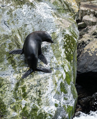 A New Zealand fur seal at Milford Sound, South Island, New Zealand