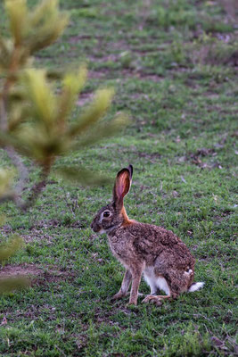 A hare at Fort Governors Estate, Eastern Cape, South Africa