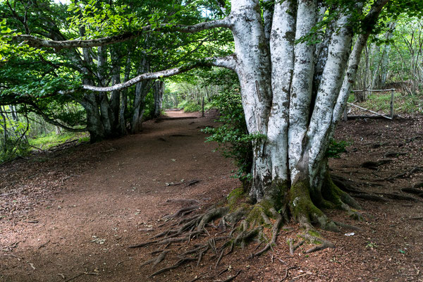 Woodland at Puy Pariou in Auvergne