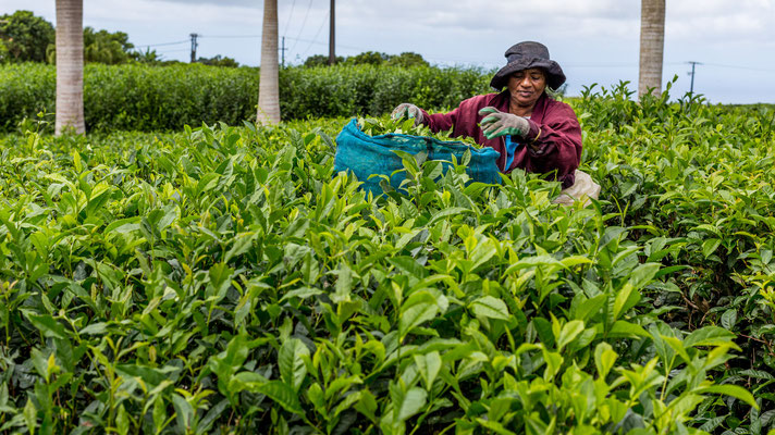 Lady harvesting tea on Mauritius