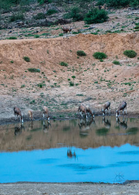 A herd of Blesbok drinking at water dam at Fort Governors Estate