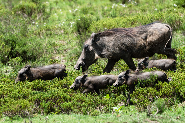 Warthog mother with its piglets at Fort Governors Estate