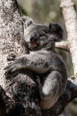 A koala bear on Magnetic Island, Queensland, Australia