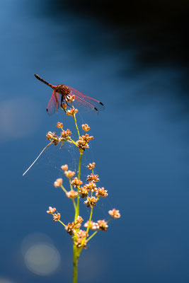 A dragon-fly sitting on a plant near the water, South Africa