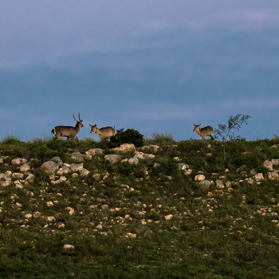 Two waterbuck at Fort Governors Estate