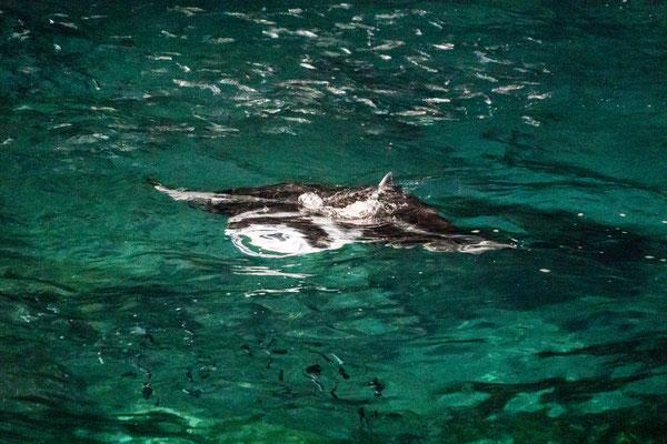 A manta-ray feeding at Rays on the Beach on Hawai'i Island, Hawai'i, USA
