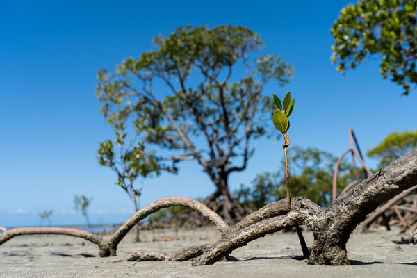 Little mangrove tree at Cape Tribulation beach, Queensland, Australia