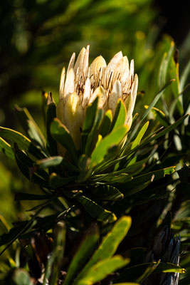 Protea in Rooi-Els, South Africa