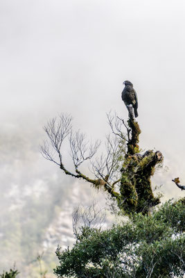 A kea sitting on top of a tree along Milford Road, South Island, New Zealand