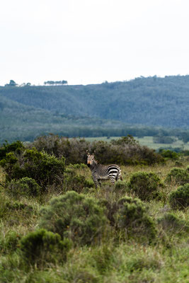 A Zebra at Fort Governors Estate, Eastern Cape, South Africa