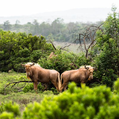 Golden Wildebeest at Fort Governors Estate