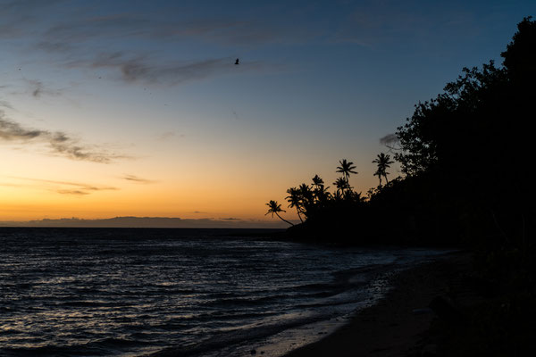 Flying foxes coming home to Naukacuvu Island, Yasawa Islands, Fiji, before sunrise